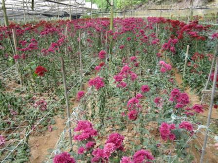 Inside a chrysanthemum farm in Cameron Highlands