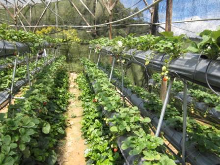 Inside a Strawberry farm at Cameron Highlands