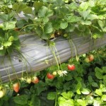 Inside a Strawberry farm at Cameron Highlands