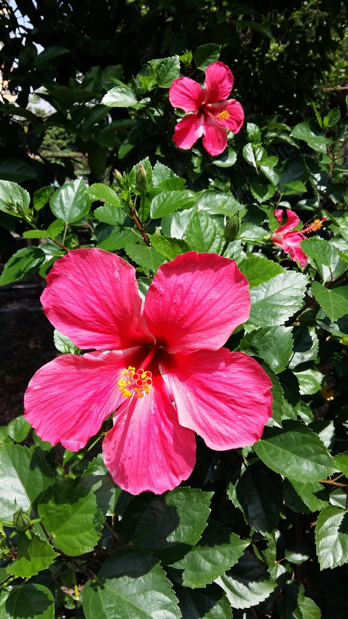 Hibiscus the national flower of Malaysia