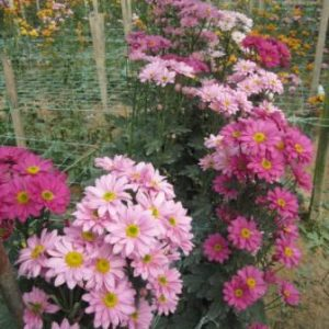 chrysanthemum-farm-04